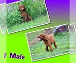 Image preview for Ad Listing. Nickname: Puppies