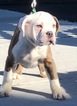 Olde English Bulldogge Puppy For Sale in CHELSEA, MA, USA