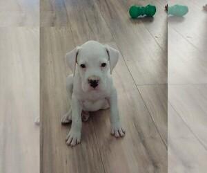 Boxer Puppy for sale in HAVANA, FL, USA