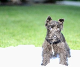 Schnauzer (Miniature) Puppy For Sale in AZLE, TX