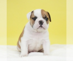 Bulldog Puppy for Sale in NAPPANEE, Indiana USA