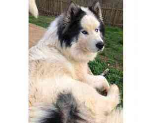 Siberian Husky Dogs for adoption in MANASSAS, VA, USA