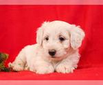 Puppy 4 Aussie-Poo