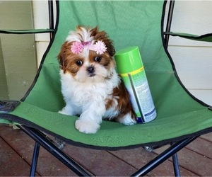 Shih Tzu Dog for Adoption in SANTA CLARITA, California USA