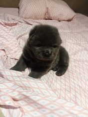 Chow Chow Puppy For Sale in FREEPORT, TX, USA