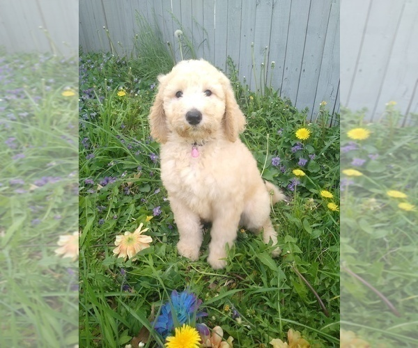 Medium Photo #1 Poodle (Standard) Puppy For Sale in NEW LONDON, IA, USA
