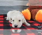 Puppy 5 English Cream Golden Retriever-Poodle (Standard) Mix