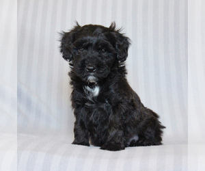 Poodle (Miniature)-Whoodle Mix Dog for Adoption in GAP, Pennsylvania USA