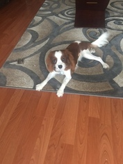 Cavalier King Charles Spaniel Puppy for sale in HOUSTON, TX, USA