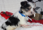 Yorkshire Terrier Puppy For Sale in RUTLAND, SD, USA
