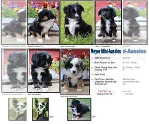Miniature Australian Shepherd Puppy for sale in POWELL, WY, USA