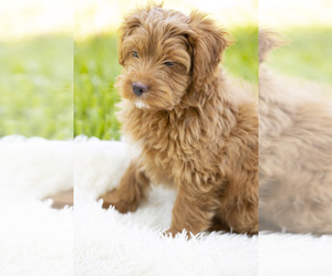 Chorkie Dog for Adoption in HOLLYWOOD, Florida USA