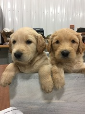 Double Doodle Puppy For Sale in AUDUBON, IA, USA