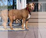 Small #99 American Pit Bull Terrier-German Shorthaired Pointer Mix