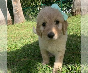 Goldendoodle Puppy for Sale in DEBARY, Florida USA