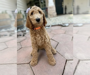 Poodle (Standard) Puppy for sale in ROSEVILLE, CA, USA