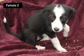 Border Collie Puppy For Sale in WHITE SALMON, WA, USA