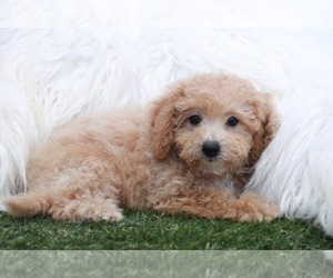 Poochon Puppy for sale in MARIETTA, GA, USA