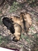 German Shepherd Dog Puppy For Sale in ABILENE, TX, USA