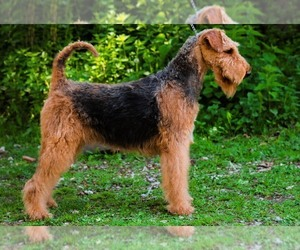 Mother of the Airedale Terrier puppies born on 08/29/2019