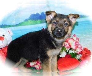 German Shepherd Dog Puppy for Sale in HAMMOND, Indiana USA