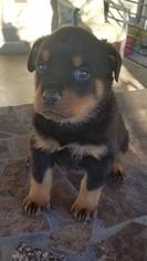 Rottweiler Puppy For Sale in RANCHO CORDOVA, CA, USA