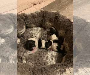 Shih Tzu Puppy for sale in KISSIMMEE, FL, USA