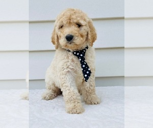 Goldendoodle-Poodle (Standard) Mix Puppy for sale in ORLANDO, FL, USA
