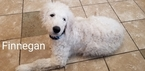 Goldendoodle Puppy For Sale in GRANDVIEW, Missouri,
