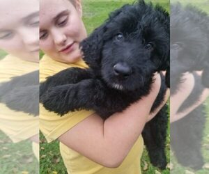 Aussiedoodle Puppy for Sale in JASPER, New York USA