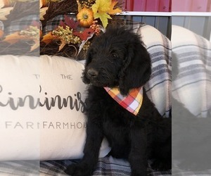 Labradoodle Puppy for Sale in TRIMBLE, Missouri USA