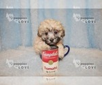 Small #13 Maltese-Poodle (Toy) Mix