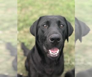 Labrador Retriever Puppy for sale in SOLON, IA, USA