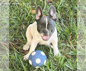 French Bulldog Dog for Adoption in SARASOTA, Florida USA