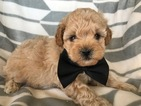 Havanese-Poodle (Toy) Mix Puppy For Sale in EAST EARL, PA