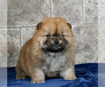 Puppy 12 Chow Chow