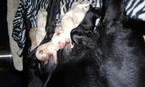 Labrador Retriever Puppy For Sale in CADIZ, KY, USA