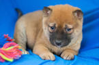 Shiba Inu Puppy For Sale in KENT, OH, USA