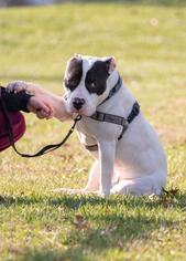Heath - American Bulldog / American Staffordshire Terrier / Mixed Dog For Adoption