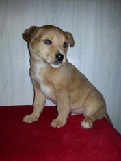 View Ad Sheprador Litter Of Puppies For Sale Near Ohio Sugarcreek