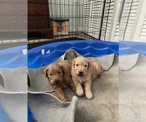 Goldendoodle (Miniature) Puppy for sale in IND HBR BCH, FL, USA