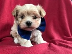 Poochon Puppy For Sale in EAST EARL, PA, USA