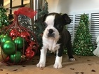 Boston Terrier Puppy For Sale in ELLICOTT CITY, MD, USA