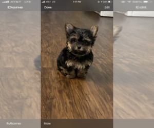 Yorkshire Terrier Puppy for sale in FORT GIBSON, OK, USA