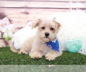 Cavachon-Yorkshire Terrier Mix Puppy for sale in MARIETTA, GA, USA