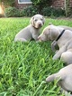 Weimaraner Puppy For Sale in EDNA, TX, USA