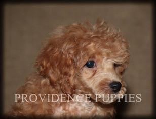 Puppyfinder com: Poodle (Miniature) puppies puppies for sale