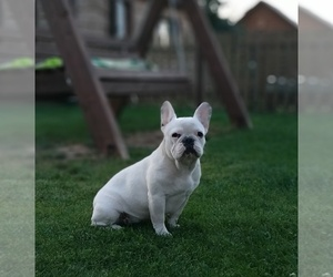 French Bulldog Puppy for sale in Smarhon', Grodnenskaya, Belarus