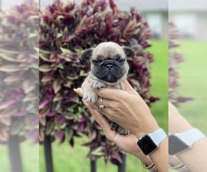 French Bulldog Puppy for Sale in DELRAY BEACH, Florida USA