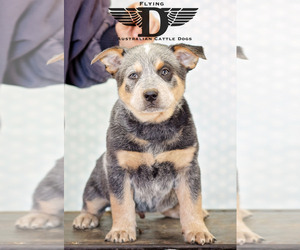 Australian Cattle Dog Puppy for sale in FAIRVIEW, OK, USA